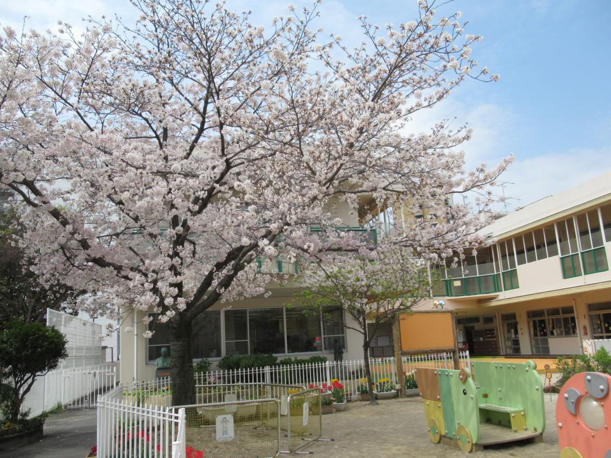 桜とチューリップが咲いています